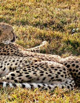Amazing Leopard experience